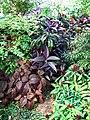Acanthaceae 01.JPG