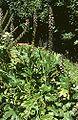 Acanthus mollis 2.jpg