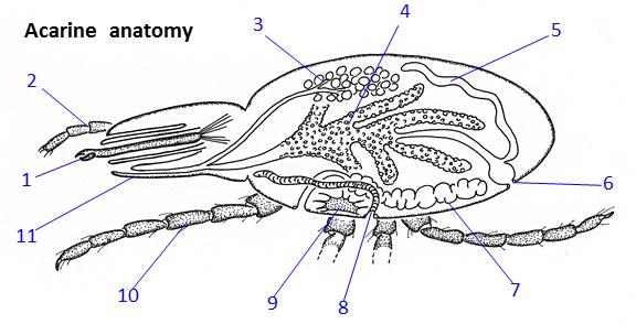 Acarine anatomy and morphology