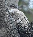 Accipiter cooperii f Sam Smith Toronto nest.jpg