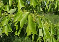 Acer buergerianum kz01.jpg