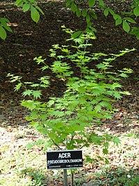 Acer pseudosieboldianum - Villa Taranto (Verbania) - DSC03621