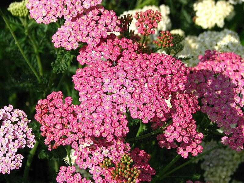 Achillea (cultivar) 03.JPG