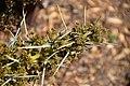 Aciphylla colensoi in Dunedin Botanic Garden 02.jpg