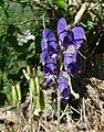 Aconitum napellus inflorescence (26).jpg