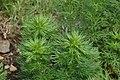Aconitum napellus subsp. vulgare in Jardin Botanique de l'Aubrac 07.jpg