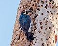 Acorn Woodpecker (m) in granary tree (38978598750).jpg
