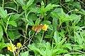 Acraea violae - Tawny Coster at Peravoor (8).jpg