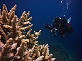 Acropora and Diver.jpg