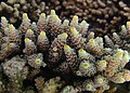 Acropora tenuis possible.jpg