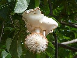 Resultado de imagen para baoba-colheita-frutos.jpg