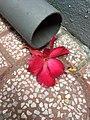 Adenium desert rose flower fallen.jpg