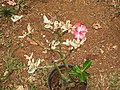 Adenium obesum variegata-1-shevaroy nursery-yercaud-salem-India.JPG