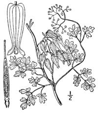 Adlumia fungosa drawing