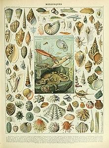 Adolphe Millot mollusques