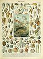 Adolphe Millot mollusques.jpg