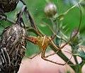 Adult male Metellina mengei. Tetragnathidae (34718466205).jpg