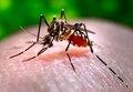 Aedes aegypti CDC9253.tif