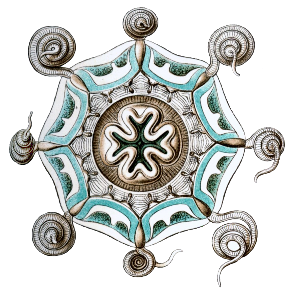 Aeginura grimaldii by Haeckel
