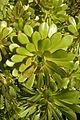 Aeonium Monchique Portugal 23.02.16 (24937585470).jpg