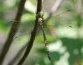 Aeshna-affinis-immature-male-top-www.jpg
