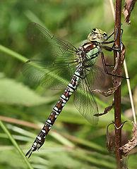 Šidlo modré (lat. Aeshna cyanea) - samička