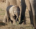 African Elephant (Loxodonta africana) young male ... (40270519723).jpg
