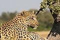 African Leopard 3.JPG