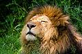 African Lion (17953605264).jpg