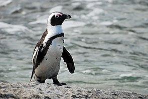 African penguin near Boulders Beach.jpg
