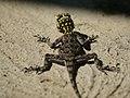 Agama planiceps (female) - Kunene.jpg