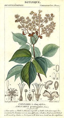 definition of connaraceae