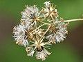 Ageratina altissima SCA-6160.jpg