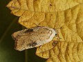 Agonopterix nervosa - Gorse tip moth (40146615514).jpg