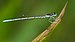 Agriocnemis pieris-Kadavoor-2015-08-21-001.jpg
