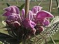Aguavientos - Phlomis herba-venti (14074697980).jpg