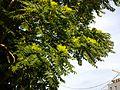 Ailanthus altissima sl1.jpg