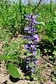 Ajuga multiflora (Lamiaceae) (34958767274).jpg