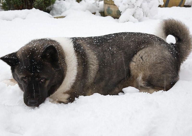 Akita Americano en la nieve