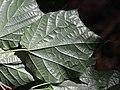 Alangium platanifolium var. trilobatum (leaf s4).jpg