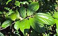 Alangium salviifolium leaves 03.JPG