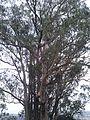 Albany hill park tree.jpg