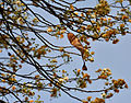 Albizia amara (Krishna Siris) in Hyderabad W IMG 7525.jpg