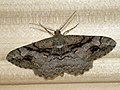 Alcis deversata - Дымчатая пяденица пятнистая (26041625297).jpg