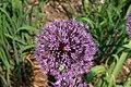 Allium aflatunense 002.JPG