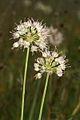 Allium nn PID997-1.jpg