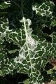 Allium schubertii 1zz.jpg