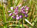 Allium thunbergii.jpg