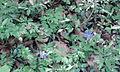 Allium ursinum nahe Wolfsbronn.jpg