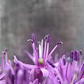 Allium violet (6246903853).jpg